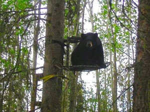 bear in stand