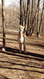 alpacas selita